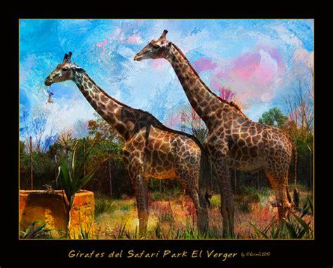 0484 Girafes del Safari Park El Verger   View On Black ...