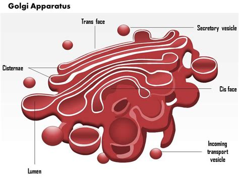 0614 Golgi apparatus Medical Images For PowerPoint