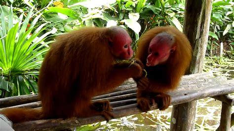 07 Monos comiendo mango Reserva de las mariposas Padre ...