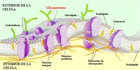 1. composicióN, estructura y función de la membrana celular
