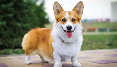 10 adorables curiosidades de los perritos corgi