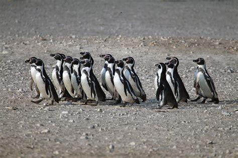 10 aves marinas que puedes encontrar en la costa del Perú