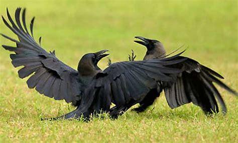 10 curiosidades del cuervo que lo convierten en una de las ...