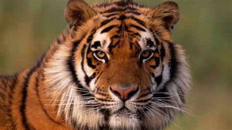10 curiosidades sobre el tigre   Hogarmania