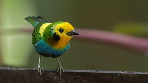 10 especies de aves que sólo pueden verse en Colombia y ...