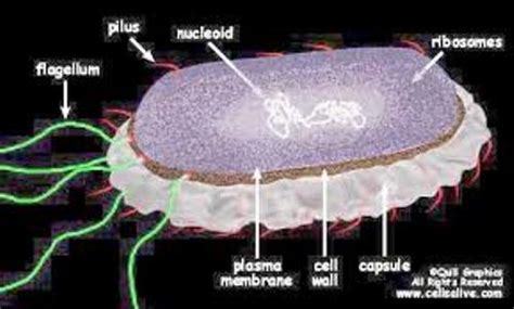 10 Facts about Bacterial Cells | Fact File