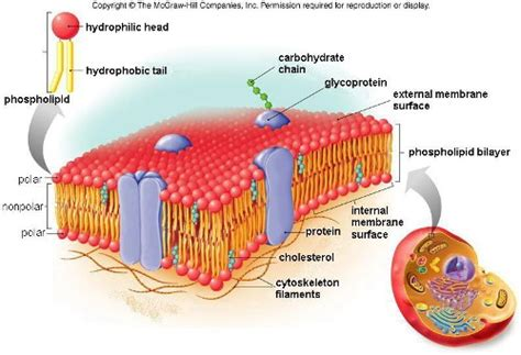 10 Facts about Cell Membrane | Fact File