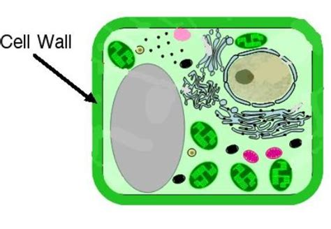 10 Facts about Cell Wall   Fact File