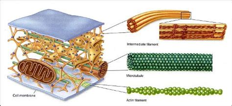 10 Facts about Cytoskeleton | Fact File