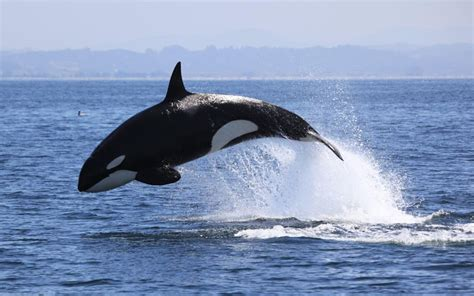 10 Facts About Killer Whales or Orcas