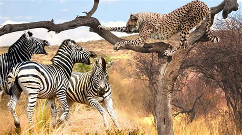 10 Interesting Facts About Cheetahs  With Pictures  – PickyTop