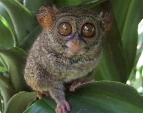 10 Interesting Tarsier Facts   My Interesting Facts
