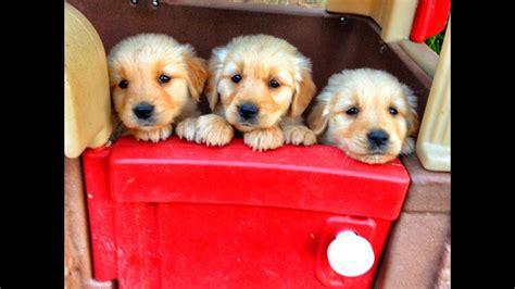 10 Mejores perros para niños   razas obedientes   para ...