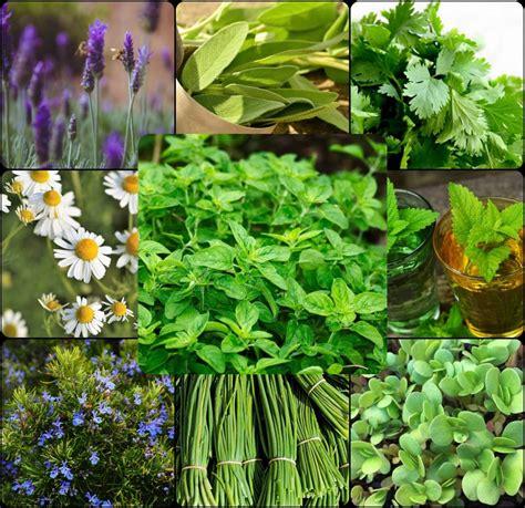 10 Plantas Aromáticas Perennes que plantas una vez y ...