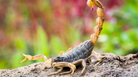 10 Stinging Facts About Scorpions   Mental Floss