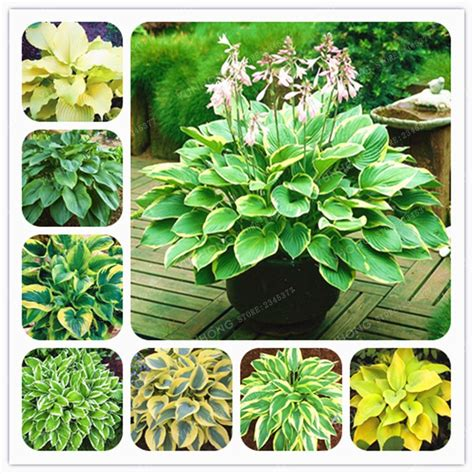 100 Pcs Hosta Plants Hosta  Whirl Wind  In Full Shade ...