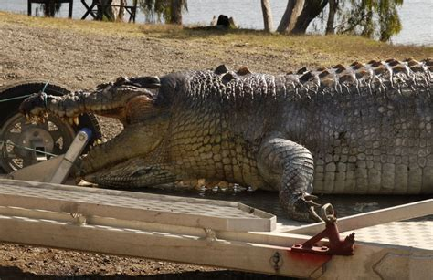 100 Year Old Monster Crocodile Shot Dead Could Spark ...