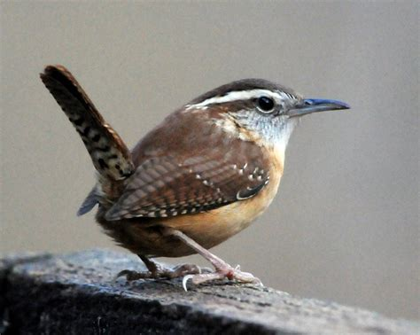 1000+ images about Birds   Carolina Wren on Pinterest