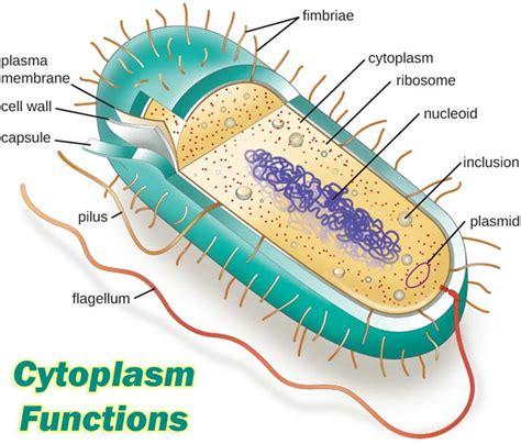 12 Major Cytoplasm Functions | Cytosol Functions | Types ...