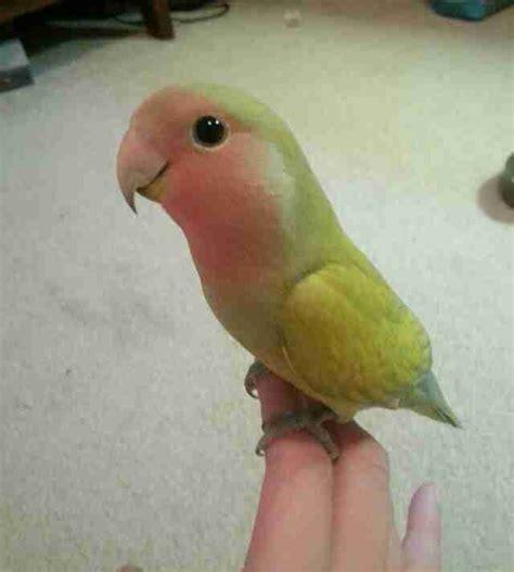 12 Pet Parrots You Can t Believe Even Exist   The Dodo