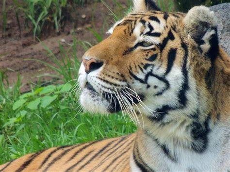 17 Best images about TIGRE DE BENGALA  Bangladesh, India ...