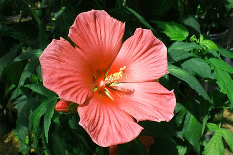 180 ways to create novel hibiscus with unusual colors and ...