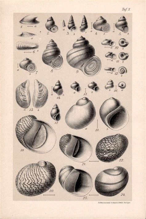 1909 Snail Shells Chart, Snails Print, Aquatic Gastropod ...