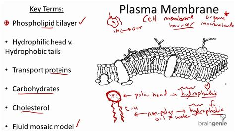 2.1.5 Plasma Membrane Structure and Function   YouTube