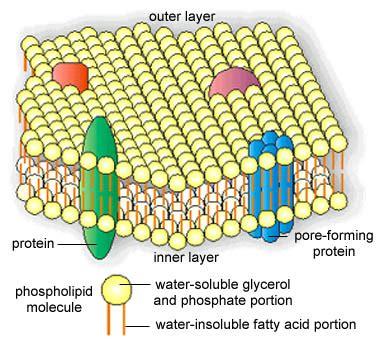 2.2: The Cytoplasmic Membrane   Biology LibreTexts