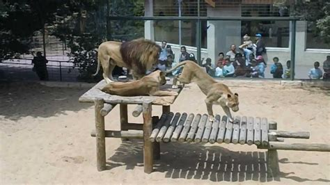 2 lions mating in Palmyre Zoo, France   YouTube