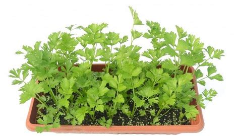 20 Plantas Que Huelen Bien | Lista De Plantas Aromáticas ...