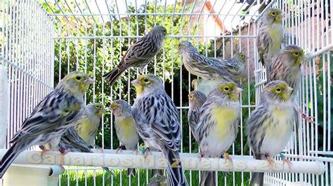 2015 Canarios machos agatas amarillo mosaico   YouTube
