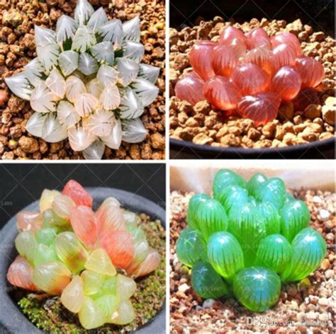 2019 Rare Crystal Clear Beauty Succulents Seeds Easy To ...