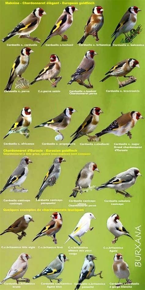 219 best goldfinches images on Pinterest | Goldfinch ...