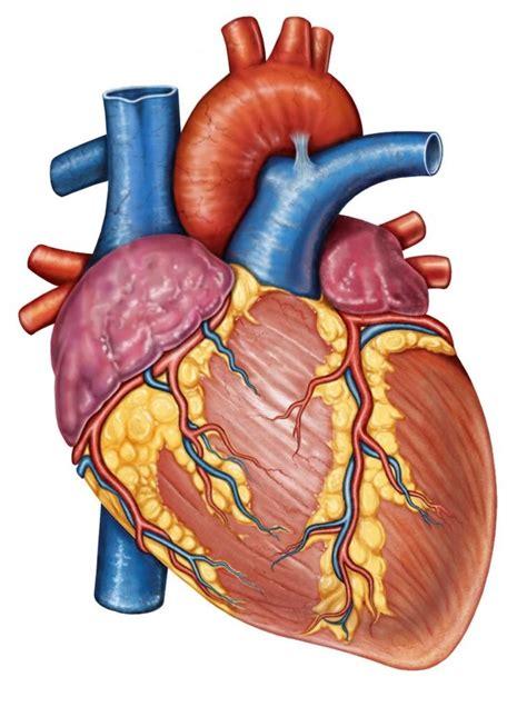 25+ best ideas about Sistema circulatorio corazon on ...