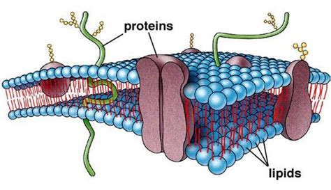 #27 Summary of Cell membrane | Biology Notes for A level