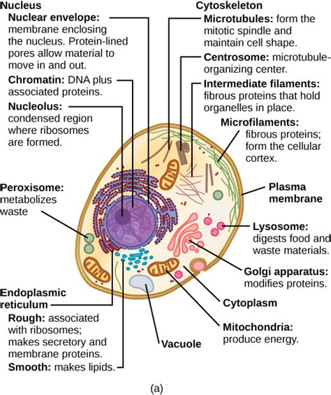 3.3 Eukaryotic Cells – Concepts of Biology – 1st Canadian ...