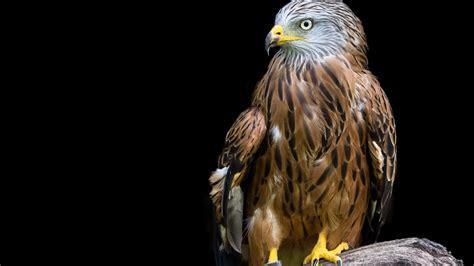 3840x2160 Adler Raptor Bird 4k HD 4k Wallpapers, Images ...