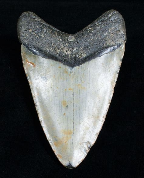 4.57 Inch Megalodon Shark Tooth For Sale  #4064 ...