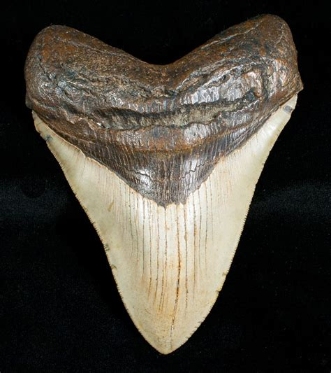 4.84  Megalodon Shark Tooth   Serrated For Sale  #4563 ...