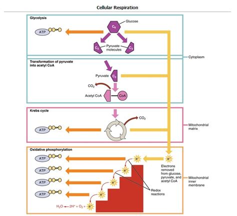 5.4A: Importance of Glycolysis   Biology LibreTexts
