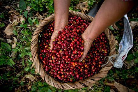 5 curiosidades del café costarricense: el grano de oro que ...