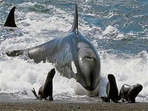 5 fatos e curiosidades sobre as orcas, as  baleias ...