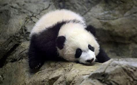 5 Haiwan Paling Comel Yang Hampir Pupus Di Seluruh Dunia ...