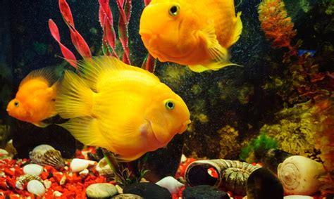 5 peces de agua fría para tu acuario