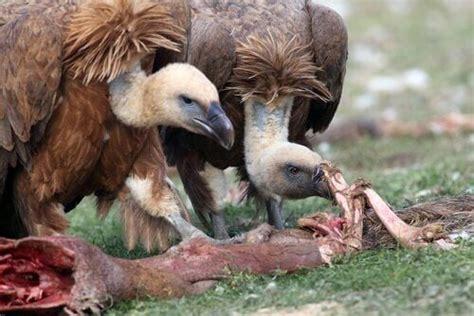 5 uccelli spazzini che si nutrono di carogne   I miei animali