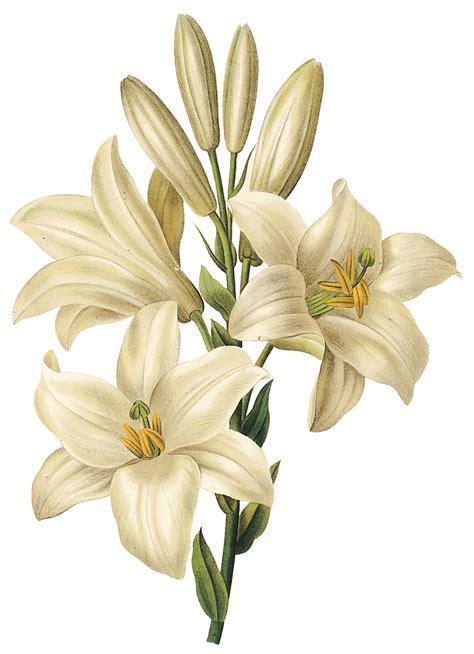 6 Best Images of Lily Floral Art Printable   Botanical Art ...