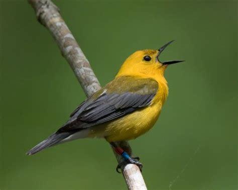 6 tipos de pájaros cantores   Mis Animales   Pajaros ...