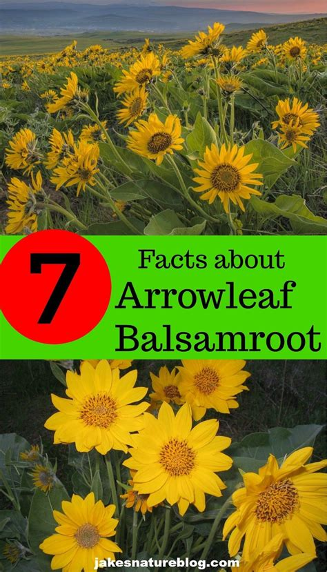 7 Arrowleaf Balsamroot Facts   A Vibrant Spring Flower ...