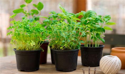 7 hierbas aromáticas fáciles de cultivar en casa » El ...